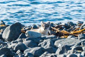 Polarwolf in der Tichaja Bucht